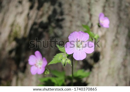 Closeup of a wild geranium bloom with two others in the background next to a tree trunk at Harms Woods in Skokie, Illinois Zdjęcia stock ©