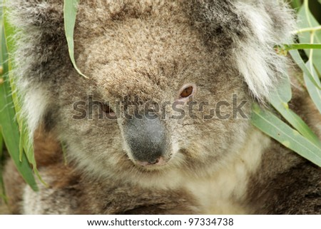 closeup of a wild koala in Australia