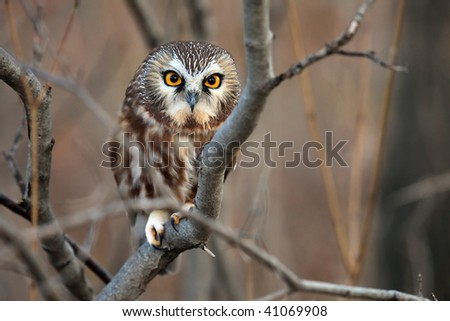 Closeup of a wild Northern Saw-Whet Owl.