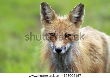 Closeup of a wild Red Fox in Algonquin Provincial Park, Ontario, Canada.
