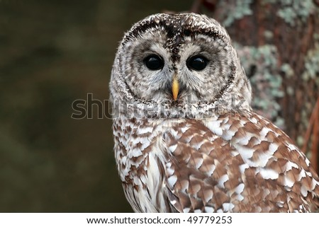 Closeup of a young Barred Owl.