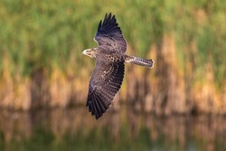 Closeup of a young Swainson's Hawk with its wings outstretched, flying over a stretch of lake in the wilderness and bathed in late day sunlight.