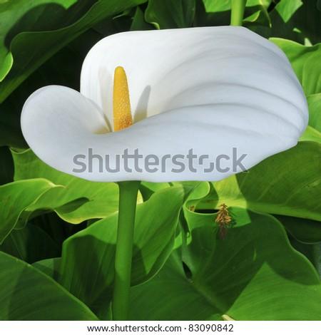 closeup of a Zantedeschia aethiopica or Lily of the Nile