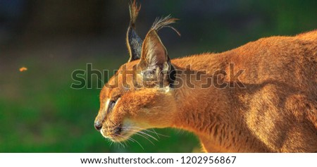 Closeup of adult Caracal, African lynx walking outdoor in blurred background. Desert cat in green grass vegetation. Wild cat in nature habitat, South Africa. Copy space. #1202956867
