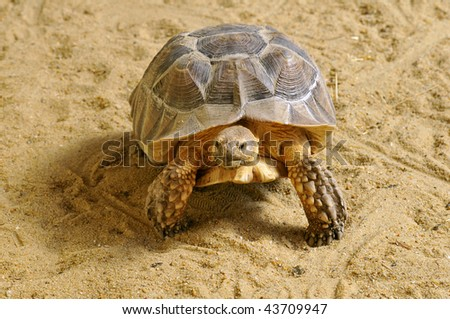 Closeup of African Spurred Tortoise (Geochelone sulcata) seen of face and walking on sand
