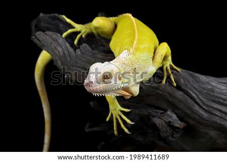 Closeup of Albino iguana on wood, iguana albino closeup, Iguana albino Zdjęcia stock ©