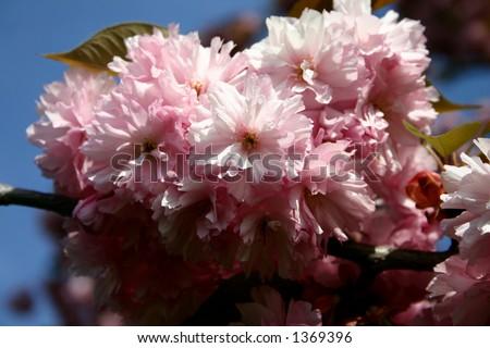 Closeup of almond blossoms #1369396