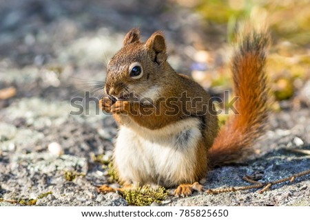 Closeup of American Red Squirrel (Tamiasciurus hudsonicus) on a mossy rock forest floor