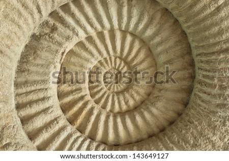 Closeup Ammonite