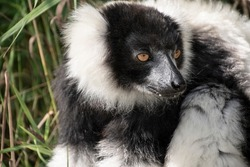 Closeup of an adult black and white ruffed lemur, varecia variegata. This critically endangered species is indigenous to the rainforests of Madagascar.