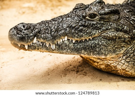 Closeup of an adult male caiman ( HDR image )