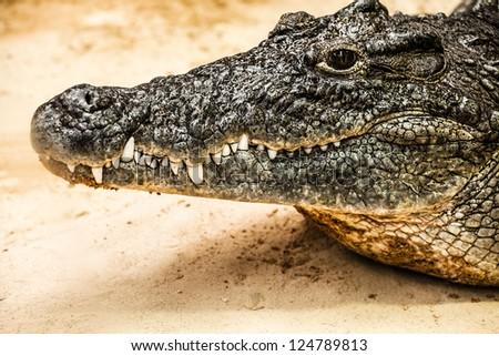 closeup of an adult male caiman ...