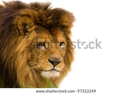 Closeup of an african lion - isolated on white background