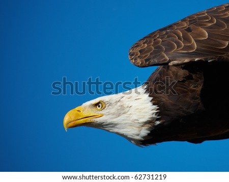 Closeup of an American Bald Eagle flying against a blue sky