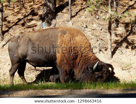 Closeup of an American bison grazing along the Wildlife Loop Road at Custer State Park in South Dakota