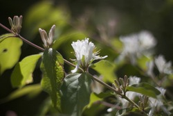 Closeup of an Amur Honeysuckle centered on a branch between buds with a blurred green foliage background