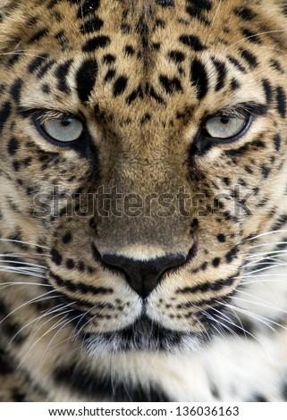 closeup of an Amur leopard #136036163