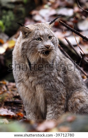 Closeup of an angry Canada Lynx.