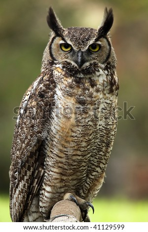 Closeup of an angry looking Great Horned Owl