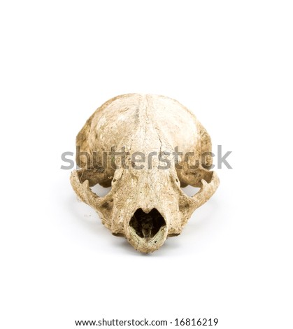 Closeup of An Animal Skull on White Background