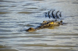Closeup of an approaching saltwater crocodile in a river at sunset