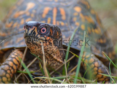 Closeup of an eastern box turtle with his head held high