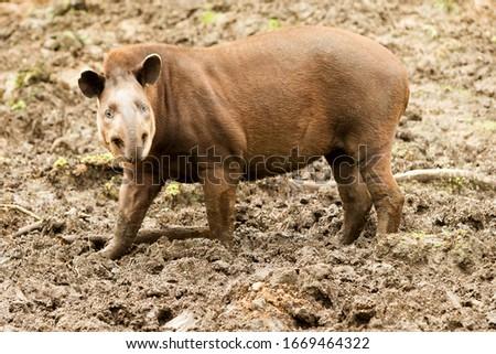 closeup of an ecuadorian brown feminine tapir tapirus terrestris tapir eyeball wildlife precious tan animal earth outdoor female pasture ecuador nose tapirus ground life hilarious wild black walking r Stock fotó ©