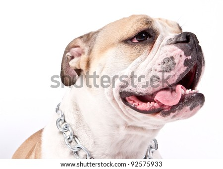 closeup of an english bulldog's face over white background
