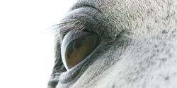 Closeup of an eye of an arabian horse.