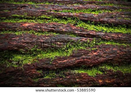 Closeup of an old growth fallen tree