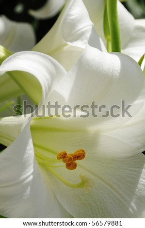 closeup of an open white lily flower