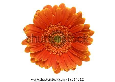 Closeup of an orange gerbera daisy isolated on a white background ...
