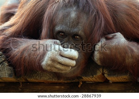 Closeup of an Orangutan covering his mouth.