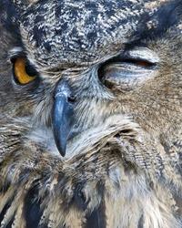 closeup of an owl winking