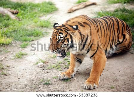 Closeup of angry tiger