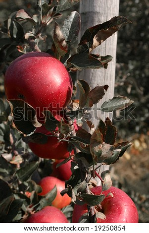 Closeup of Apples with Emphasis on Red - stock photo
