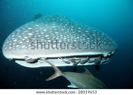 Closeup of approaching whale shark