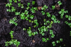 Closeup of arugula sprouts fresh out of the soil, top view
