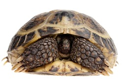 closeup of Asian tortoise hiding its head isolated on white