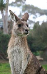closeup of Australian Grey Kangaroo