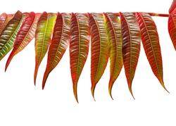 Closeup of autumn multicolour leaves arranged in horizontal line on tree twig isolated on white background. Essigbaum (Rhus typhina) or vinegar tree.