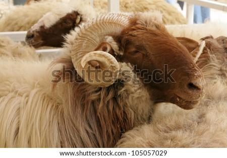 Closeup of awassi sheep with curved horn