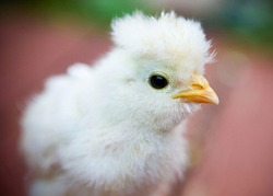 Closeup of baby chicken, two day old fluffy chick,  shallow depth of field blurred background photo of little yellow chick with yellow beak, farm animal photography