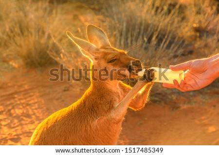 Closeup of baby Kangaroo orphan having their milk. Tourist feeds small kangaroo bottle feeding outdoors. Sunset golden light shot. Australian Marsupial, Northern Territory, Red Centre.