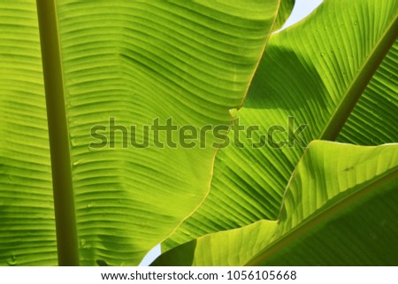 Closeup of banana leaf , Abstract background , Green surface with small line drawn through the middle ,Texture for add text or graphic design  #1056105668