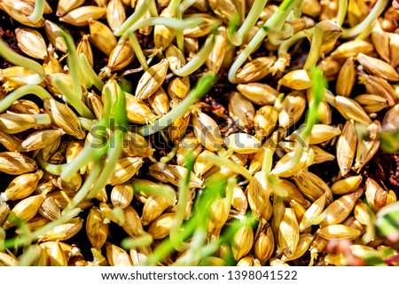 closeup of barley seedlings or sprouts, concept fresh, healthy micro greens ストックフォト ©
