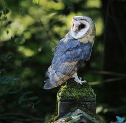 Closeup of Barn Owl Raptor with Back Lighting, Czech Rep