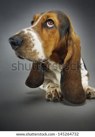 Closeup of Basset hound sitting against background