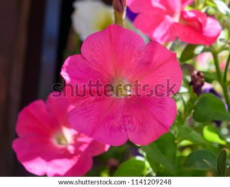 Closeup of Beautiful, Bright, Neon Pink Petunia Flower's (Solanaceae) Delicate Petals in Partial Shade  #1141209248