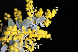 Closeup of beautiful bright yellow wattle flowers with green grey leaves on a black background